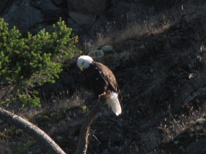 The symbol of our nation: a mature bald eagle.