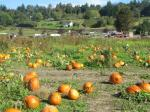 A tiny fraction of the pumpkin picking area available.
