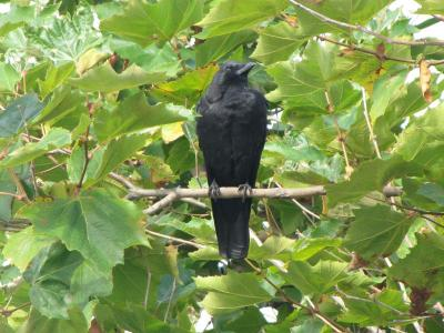 A big blackbird
