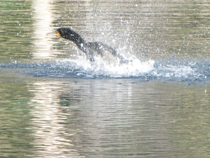 This bird repeatedly ducked his head in the water then vigorously splashed the water with his wings for about 15 seconds.