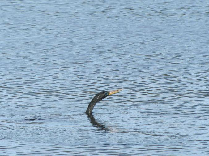 We only saw this bird's head: he spent most of the time underwater fishing!