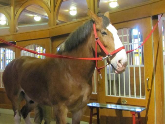 Luke, one of the Budweiser Clydesdales in rotation to pull the famous Budweiser wagons