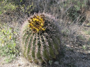 Fish hook barrel cactus