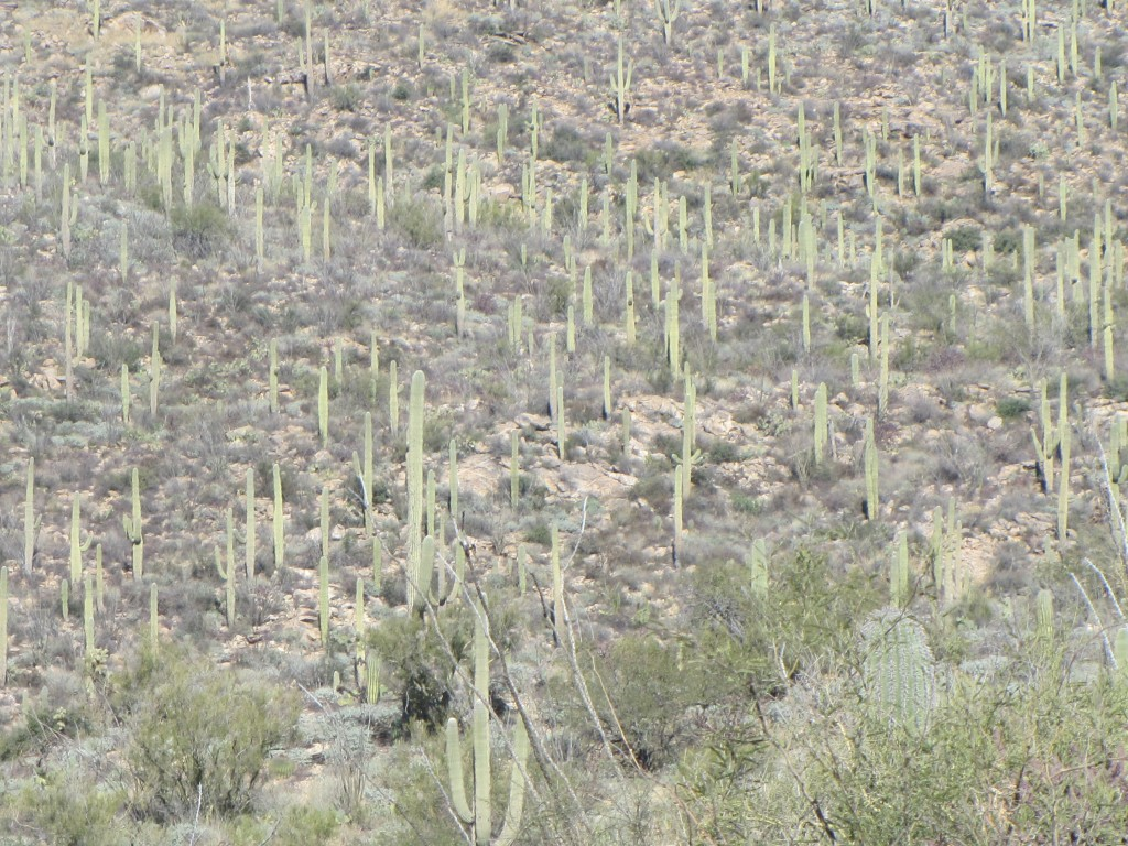 Lots of Saguaro