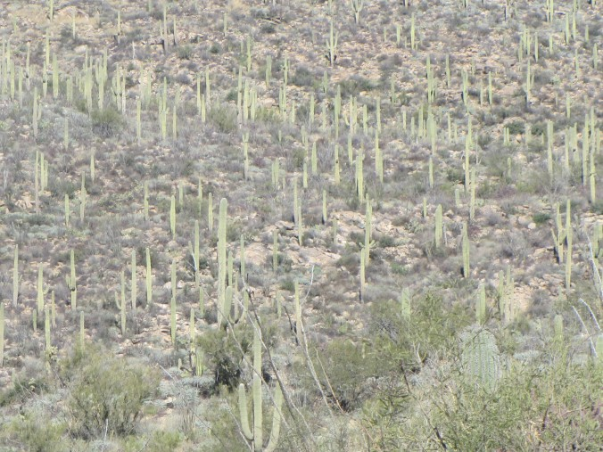 Lots of Saguaro
