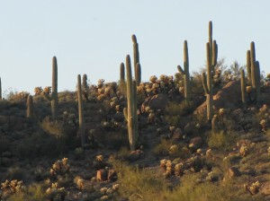 One by one the cacti lose the sun's warmth